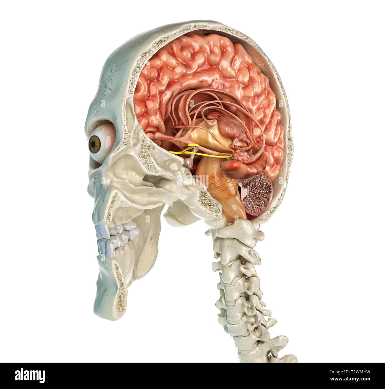 Human skull mid sagittal cross-section with brain. Perspective view on white background. - Stock Image