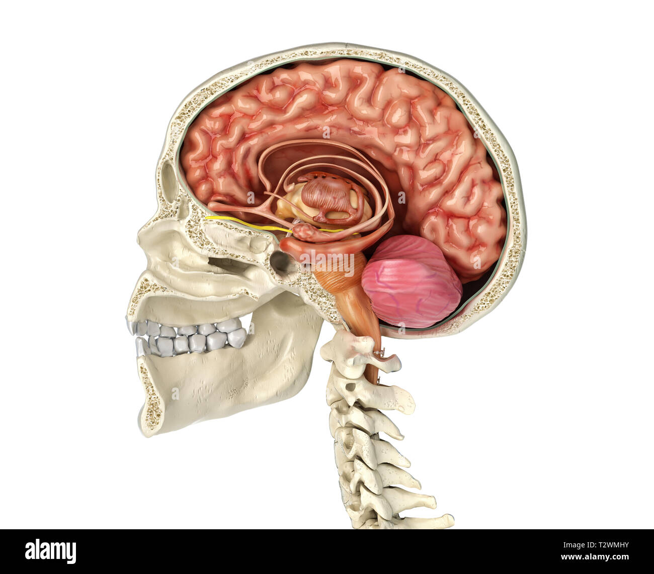 Human skull mid sagittal cross-section with brain. Side view on white background. - Stock Image