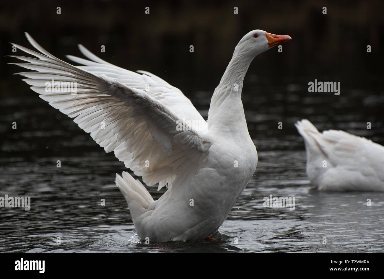 White goose on water with wings extended - Stock Image