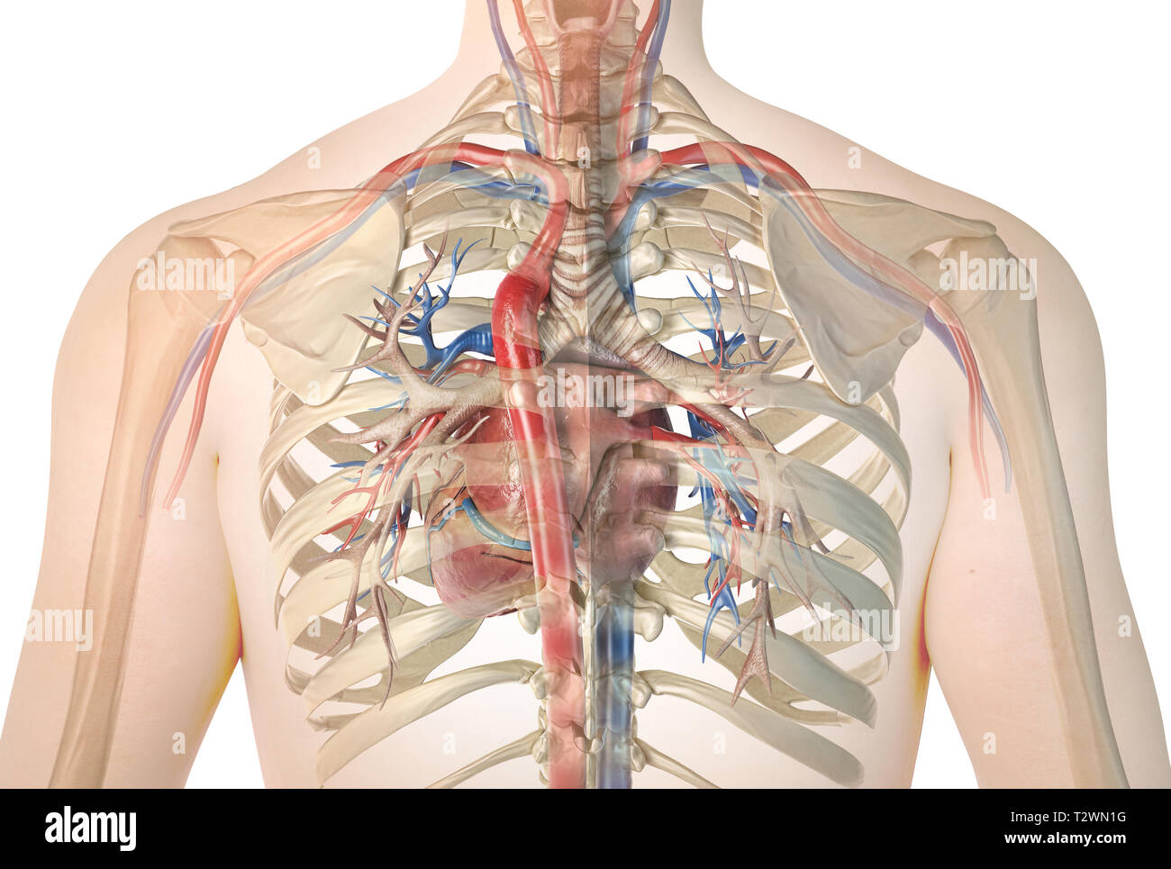 Human heart with vessels and bronchial tree. Back view in ghost effect with rib cage. On white background. Anatomy image. - Stock Image