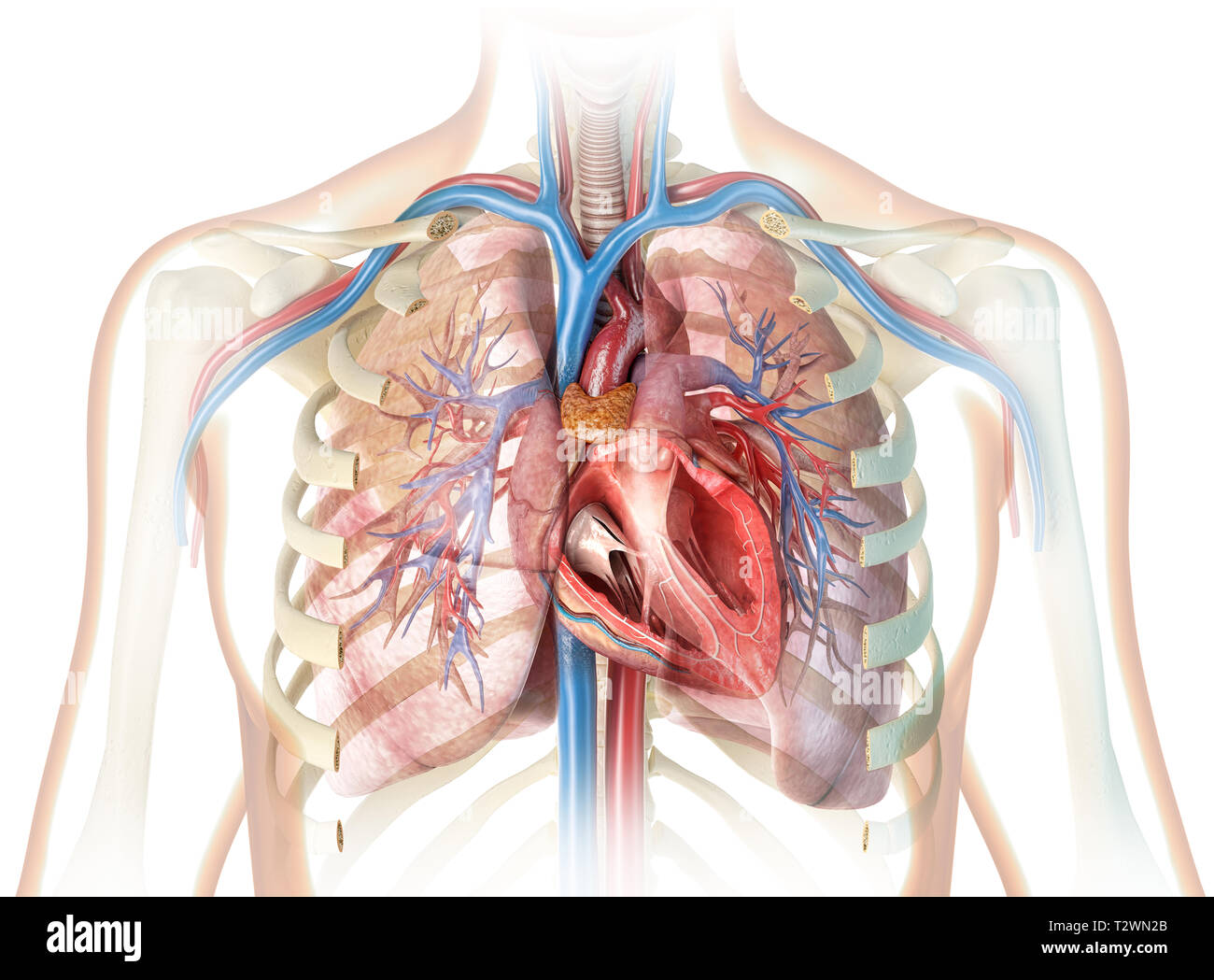 human heart cross section with vessels lungs bronchial. Black Bedroom Furniture Sets. Home Design Ideas