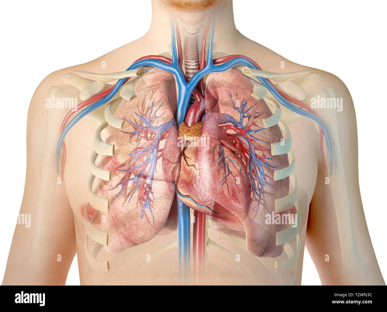human anatomy of the lungs stock photos human anatomy of. Black Bedroom Furniture Sets. Home Design Ideas