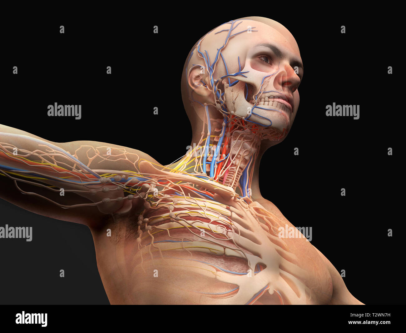 Man Head And Chest Anatomy Diagram With Ghost Effect