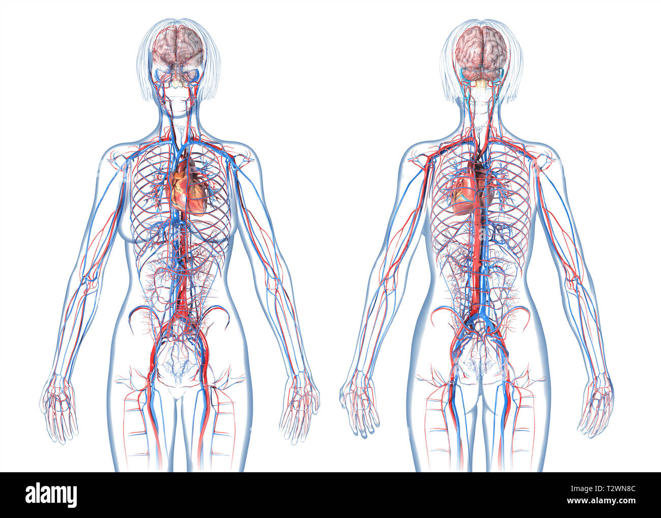 Woman cardiovascular system, rear and front views. On white background. - Stock Image