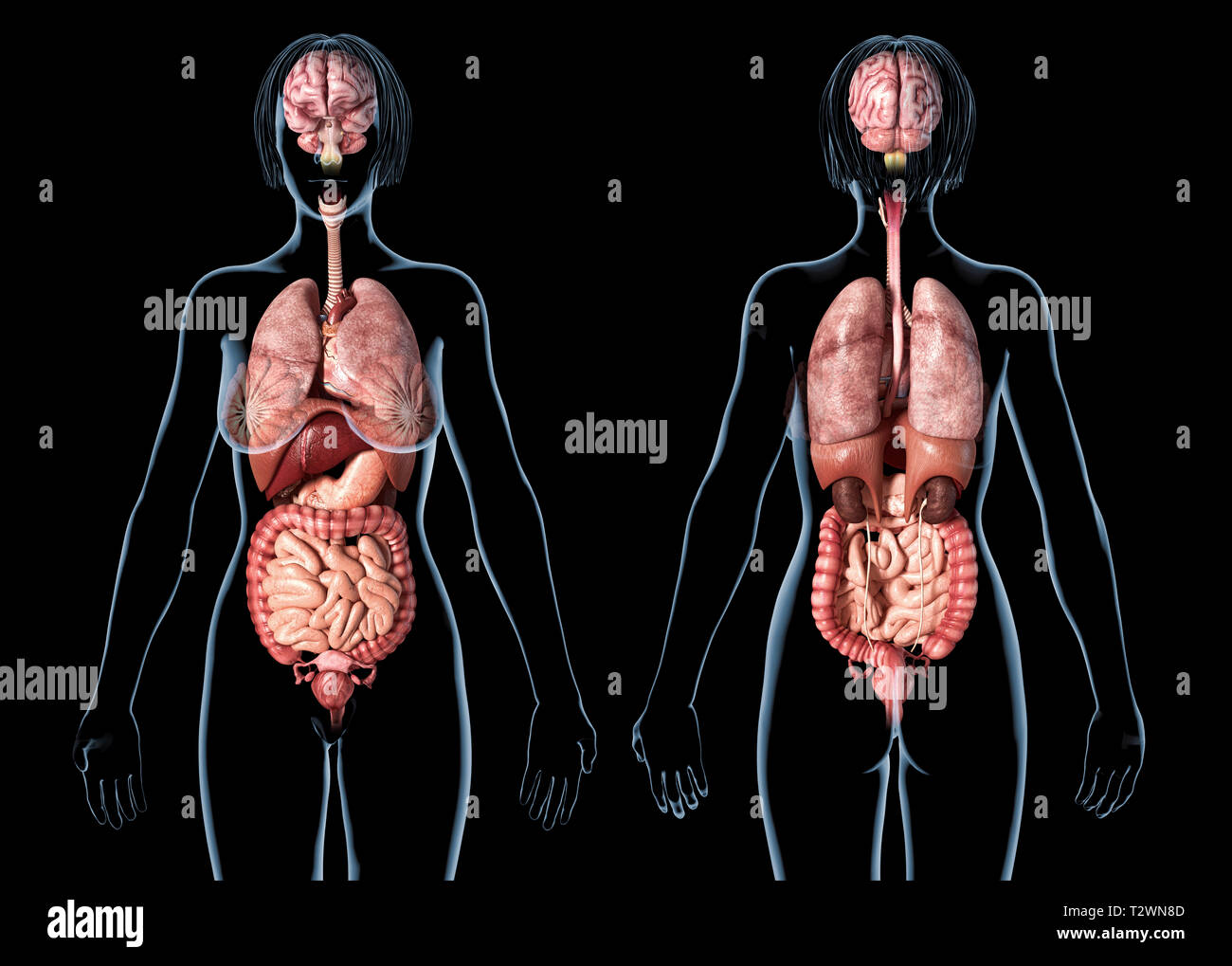 Woman anatomy internal organs, rear and front views. On black background. - Stock Image