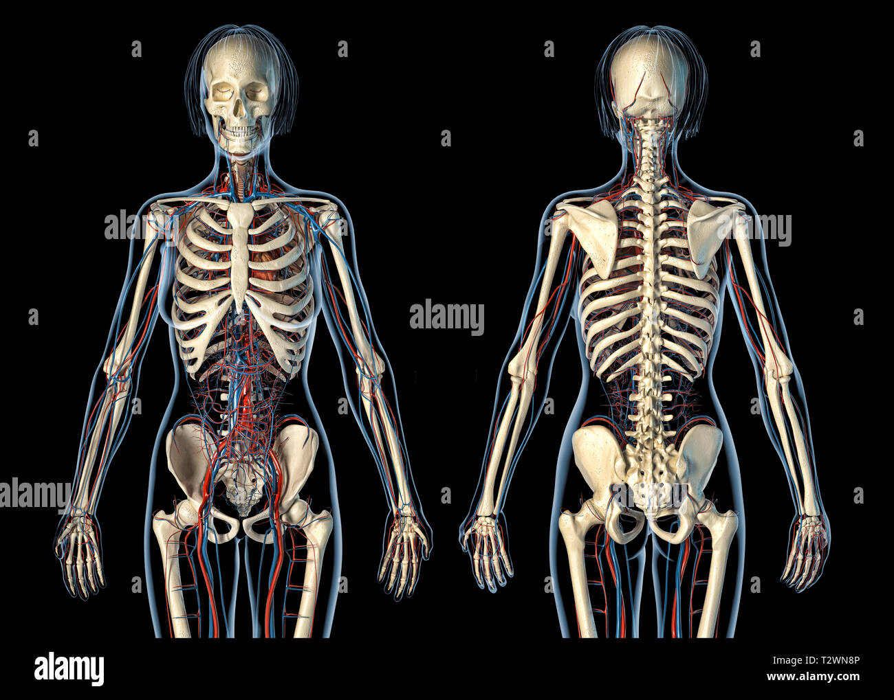 Woman anatomy cardiovascular system with skeleton, rear and front views. On black background. - Stock Image