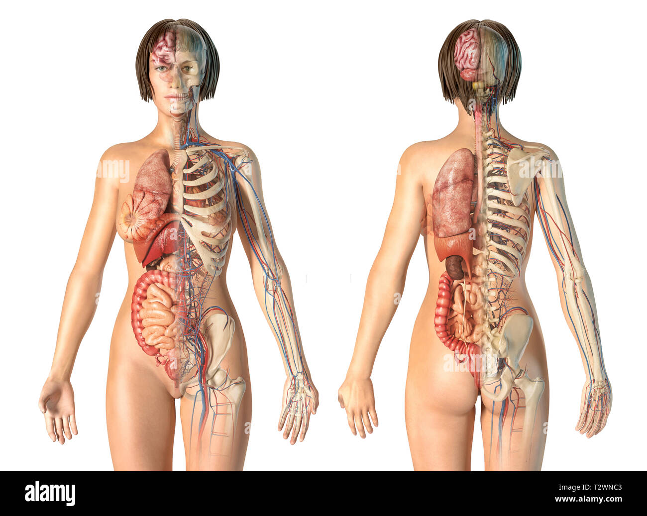 Woman anatomy cardiovascular system with skeleton and internal organs, rear and front views. - Stock Image