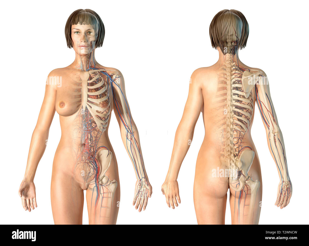 Woman anatomy cardiovascular system with skeleton, rear and front views. On white background. - Stock Image