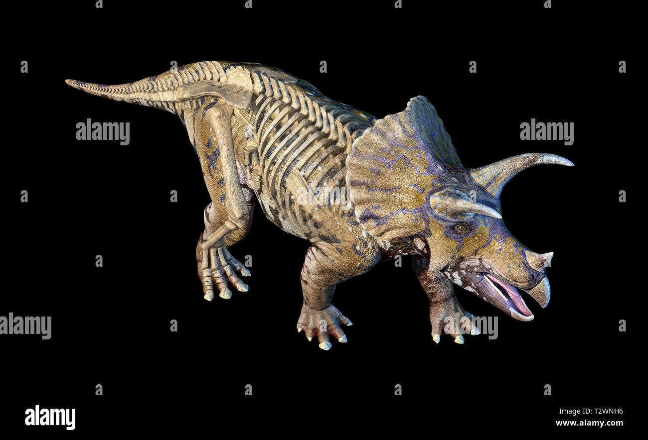 Triceratops with skeleton in ghost effect 3d rendering on black background viewed from above. - Stock Image