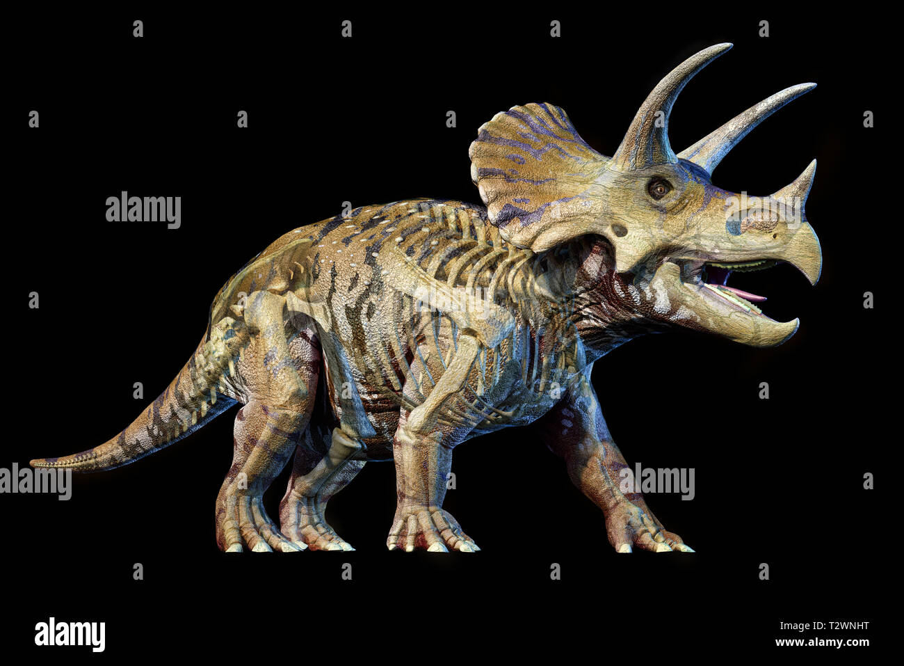 Triceratops with skeleton in ghost effect 3d rendering on black background. - Stock Image