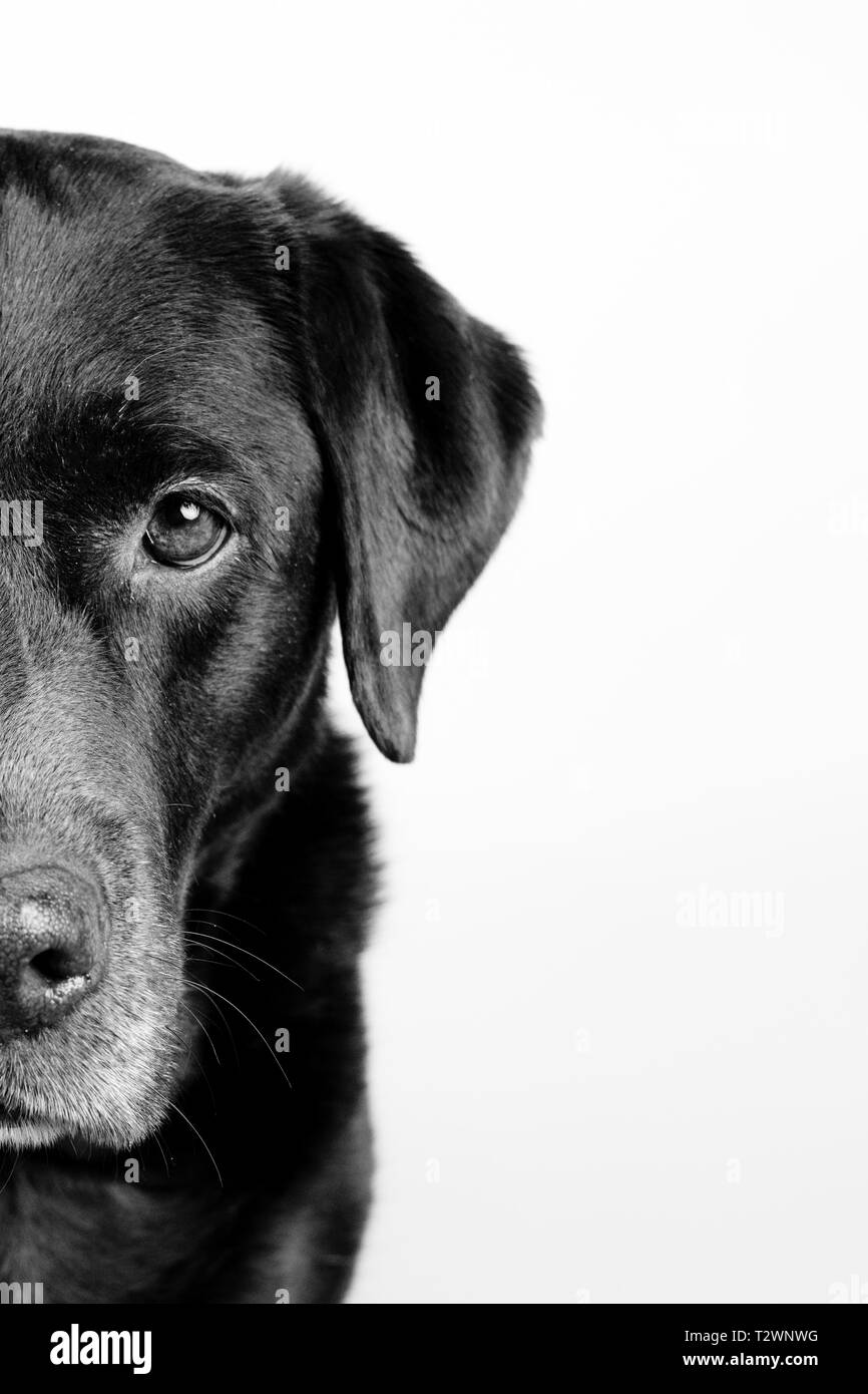 Portrait of a labrador on a White background with only the half of his face isolated - Stock Image