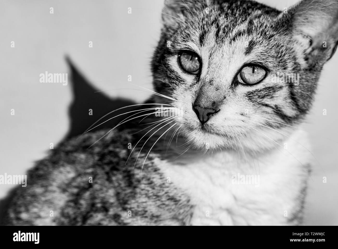 Black and white image of tabby cat imaging looking towards the sun Stock Photo