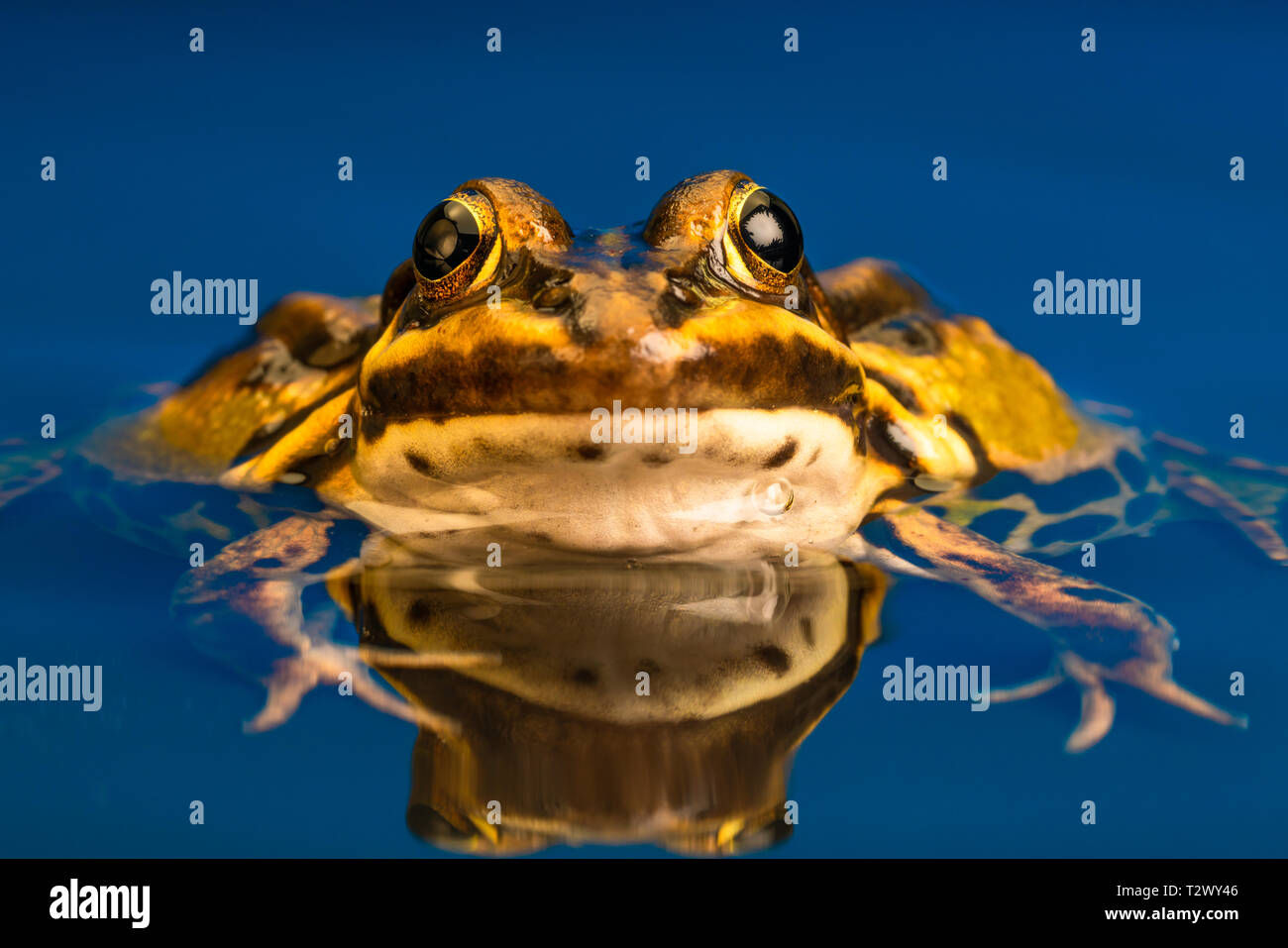 Common European frog (Pelophylax kl. esculentus), also known as the common water frog, green frog or edible frog. - Stock Image
