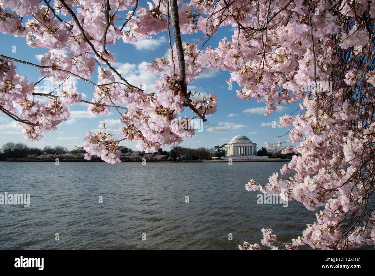 Cherry Blossoms In Peak Bloom Along The Tidal Basin With The Jefferson Memorial April 1 2019