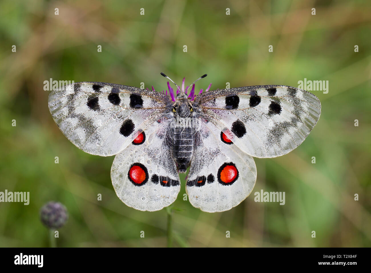 Apollofalter, Parnassius apollo, mountain Apollo - Stock Image