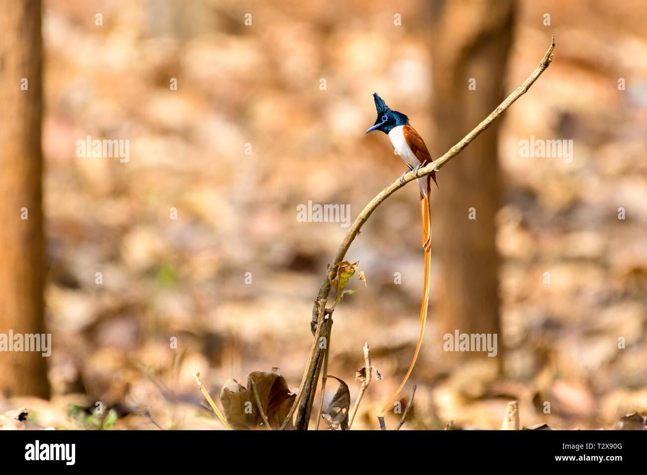 Indian paradise flycatcher - Stock Image