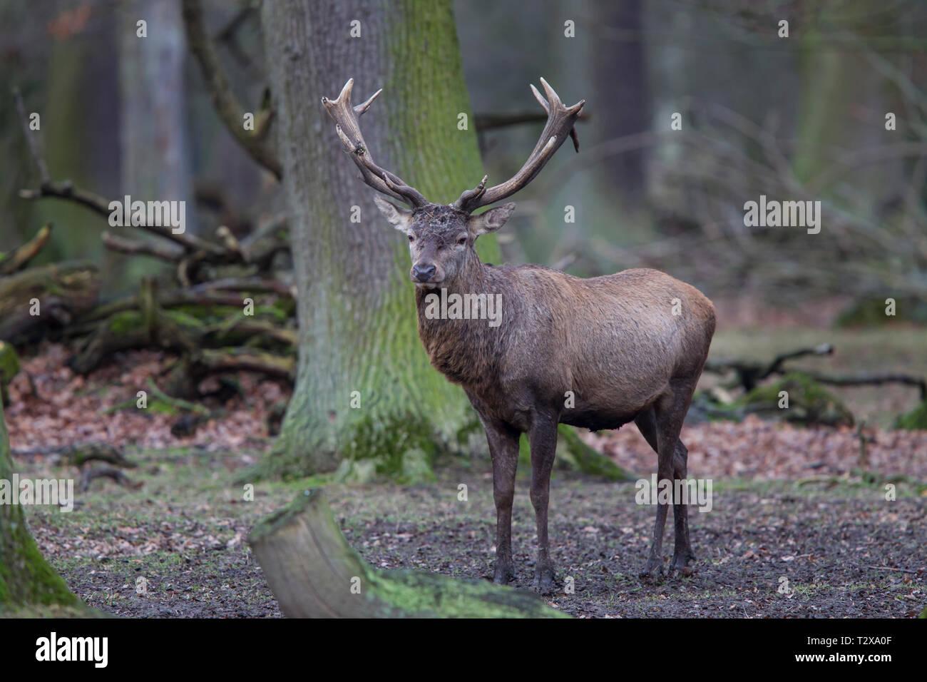 Rothirsch - Maennchen, Cervus elaphus, red deer - male - Stock Image