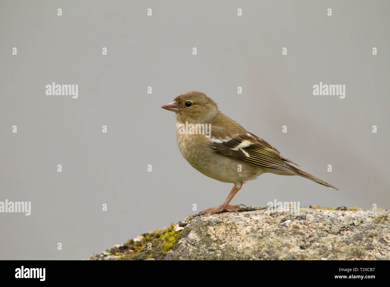 Chaffinch, Fringilla coelebs, single adult female perched on rock. Aviemore, Scotland, UK. - Stock Image