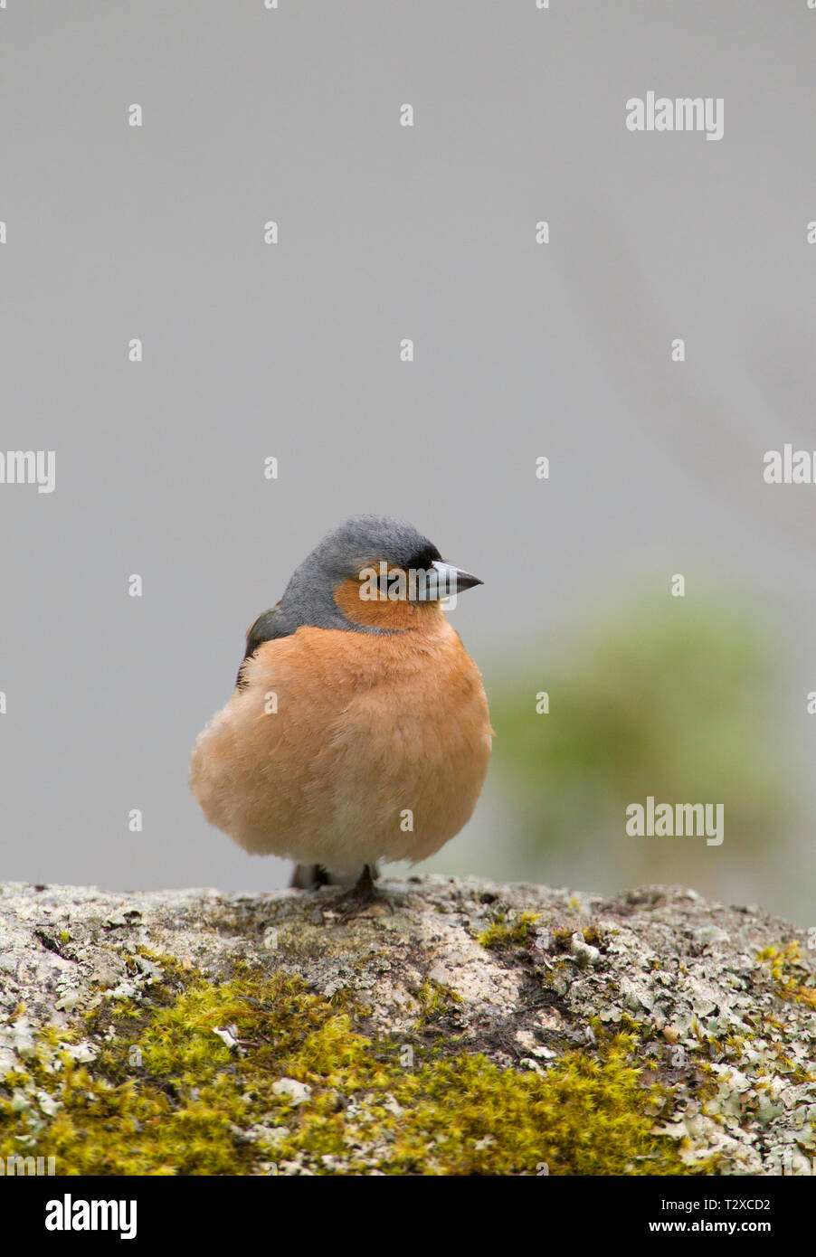 Chaffinch, Fringilla coelebs, single adult male perched on moss covered rock. Aviemore, Scotland, UK. - Stock Image