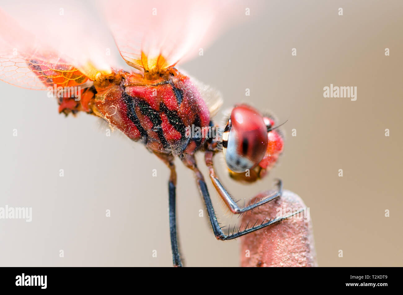 Red darter dragonfly Stock Photo