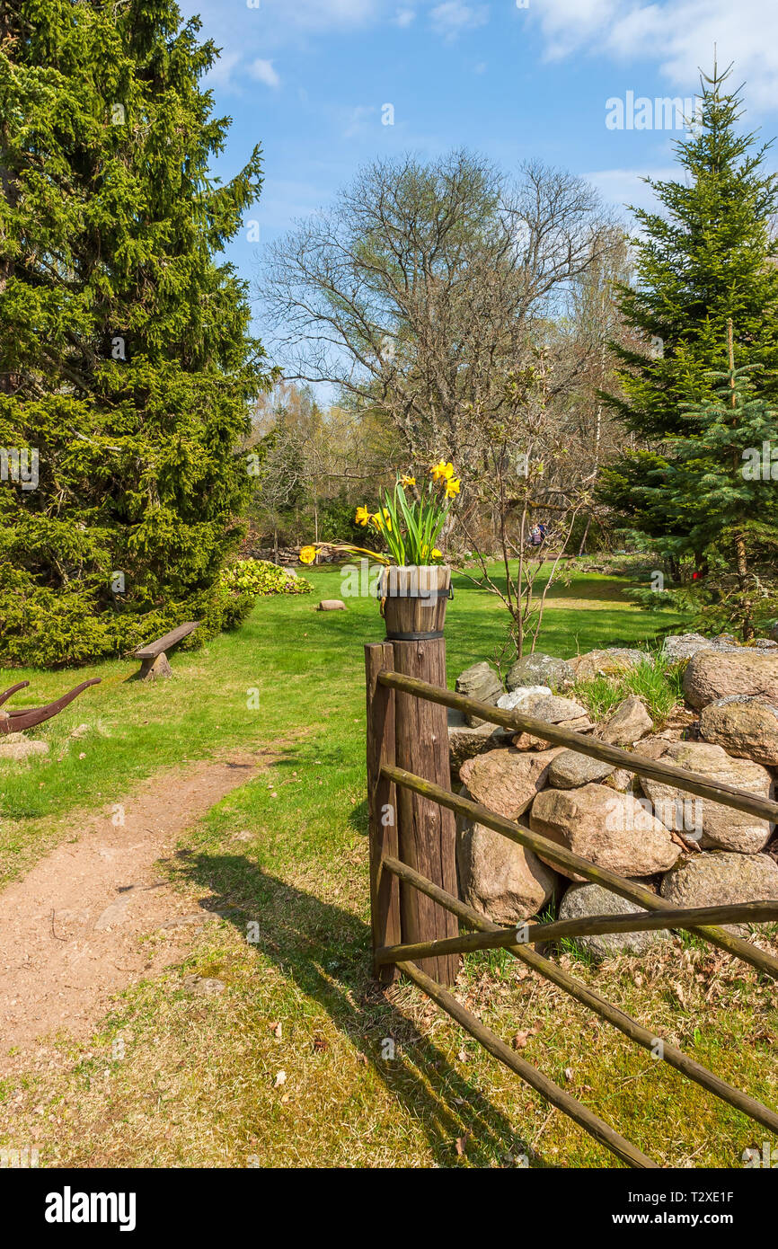 Blossoming daffodils on a gatepost in a garden - Stock Image