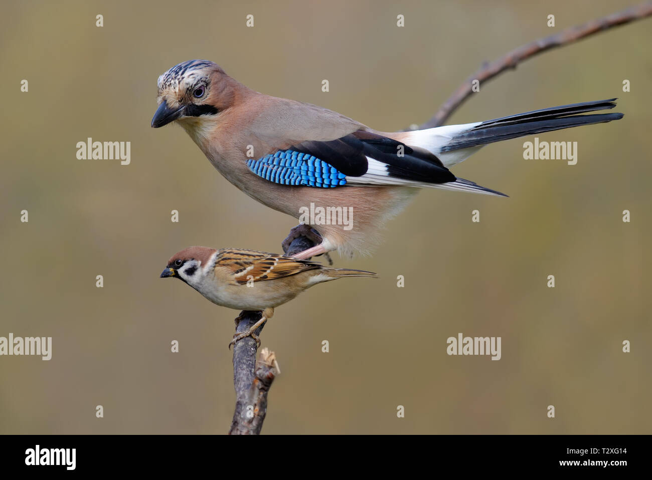 Eurasian Jay and Tree Sparrow size camparison on a willow twig - Stock Image
