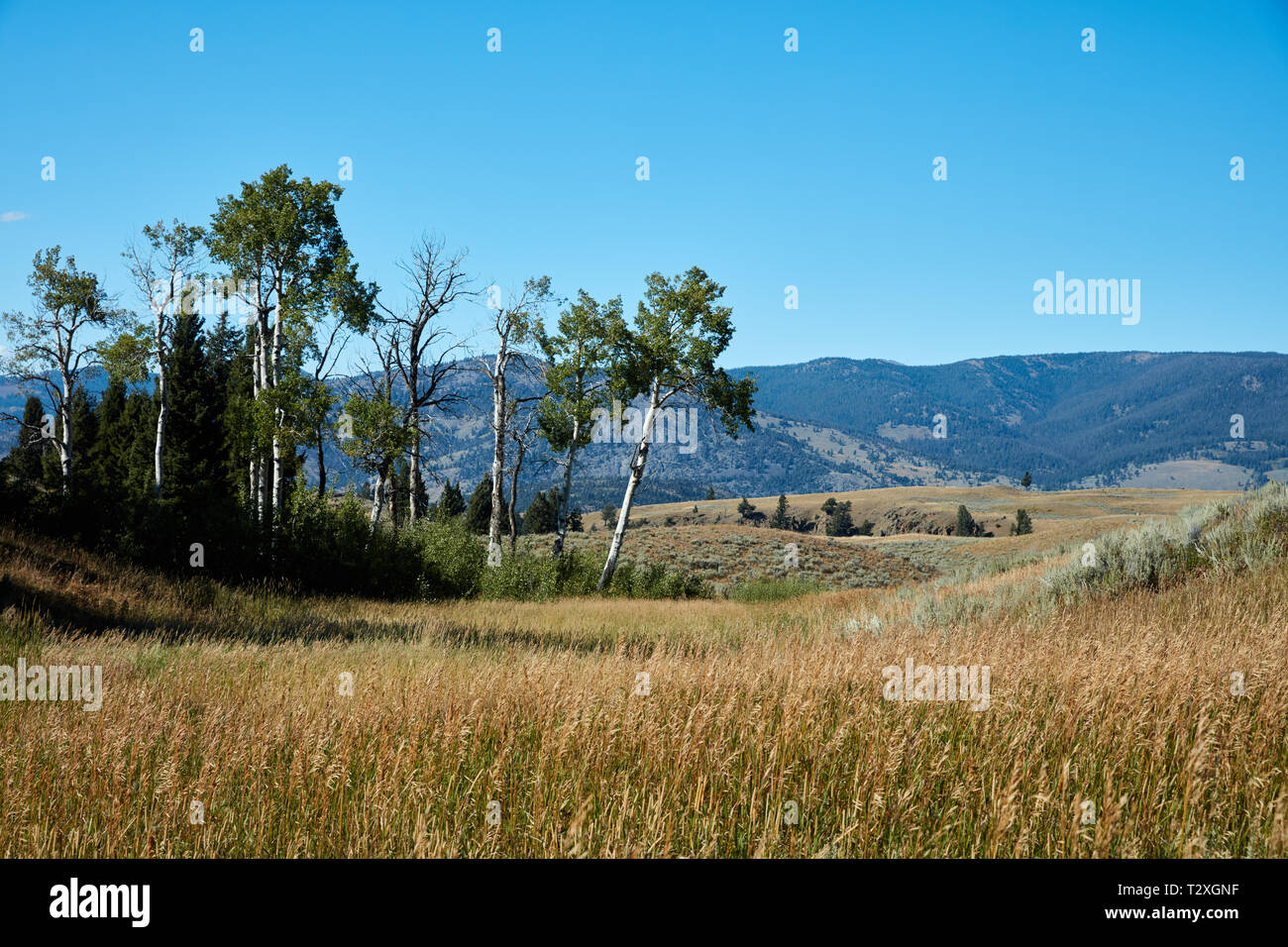 Aspen trees on Blacktail Plateau in Yellowstone National Park - Stock Image