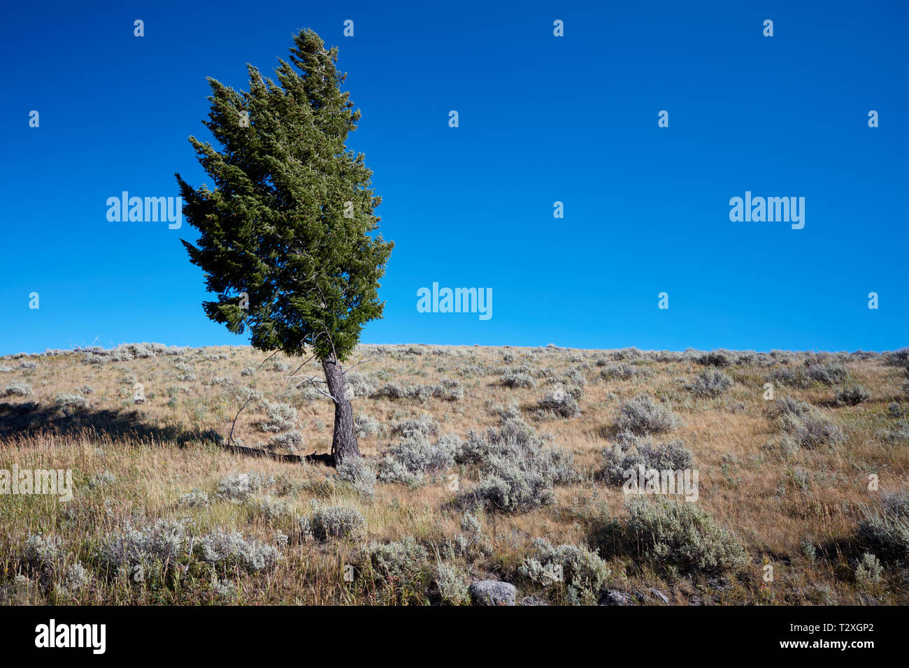 Lone pine tree at Blacktail Plateau in Yellowstone National Park - Stock Image
