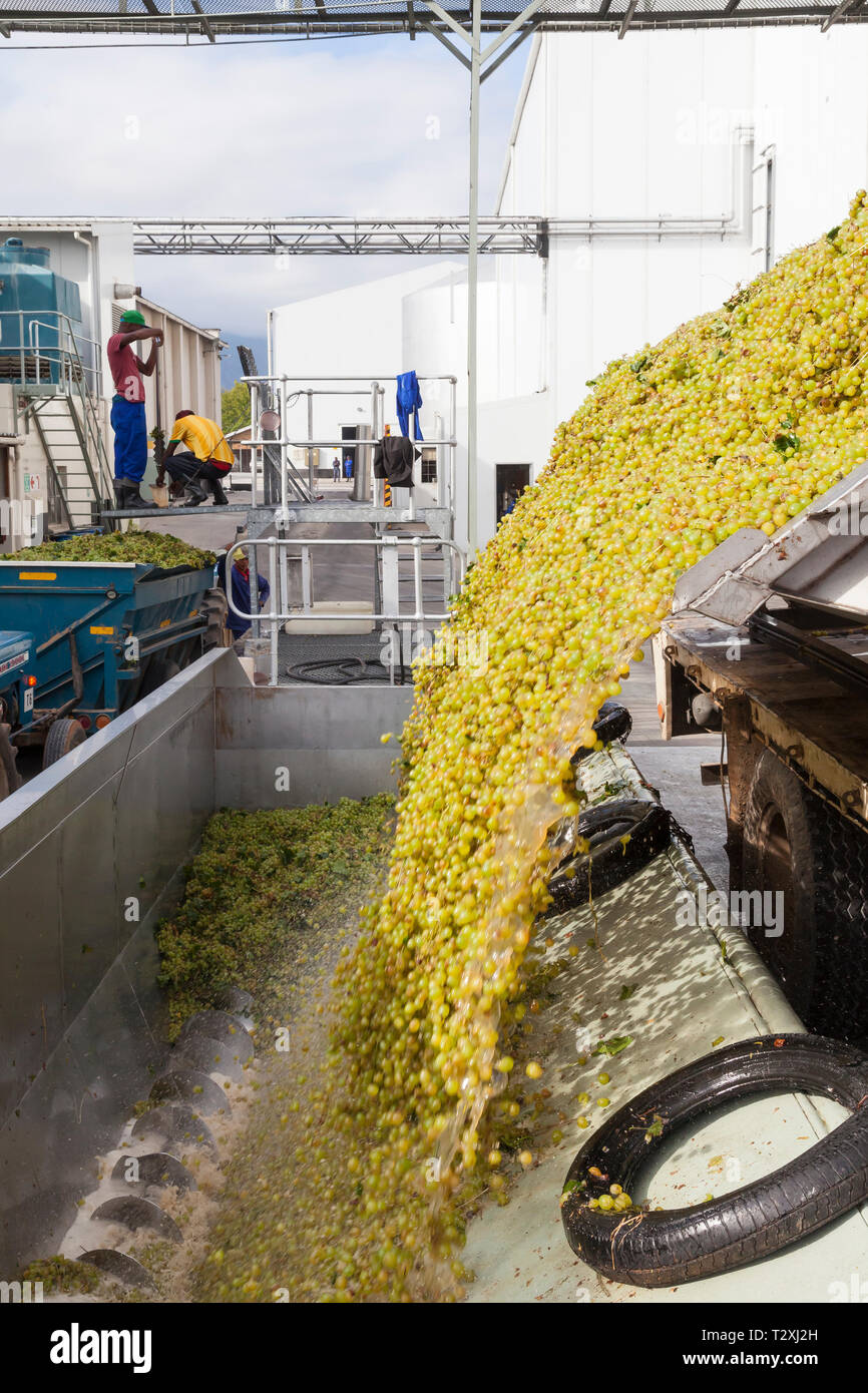 Offloading harvested hanepoot grapes into mechanical grape crusher or press, Roodezandt Cellars, Robertson Wine Valley, Western Cape Winelands, South - Stock Image