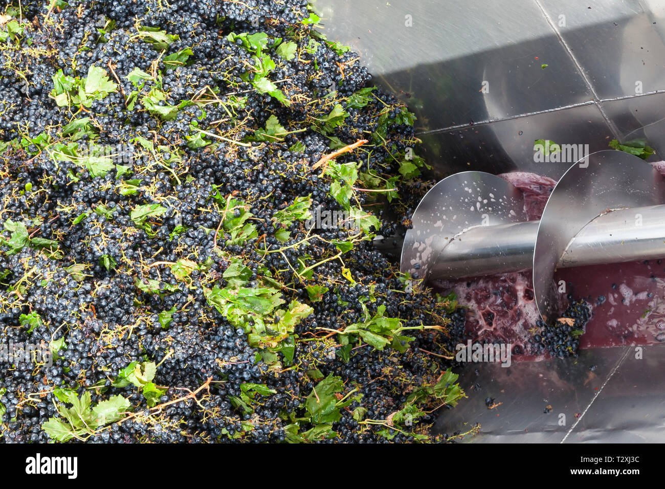 Detail of harvested shiraz grapes passing through the mechanical grape crusher or press at a winery, South African red wine production, Robertson Wine Stock Photo