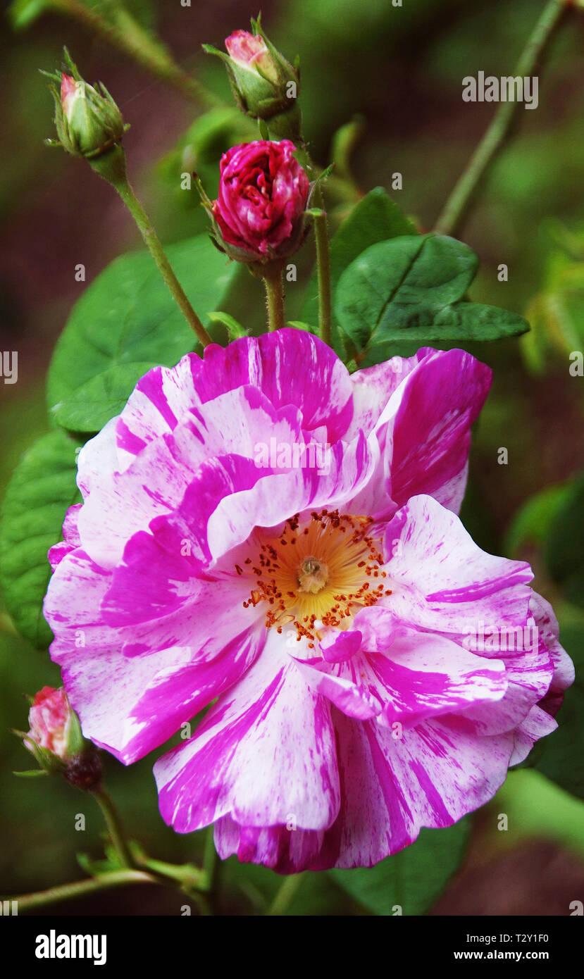 Rosa Gallica versicolor at Compton Verney - Stock Image