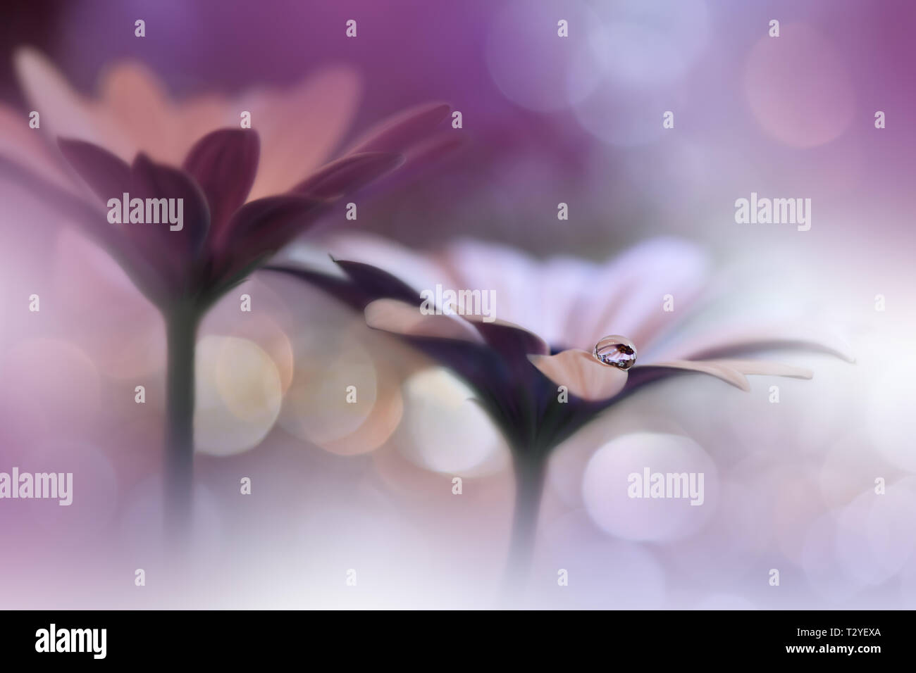 Beautiful Nature Background Amazing Spring Flowers Water Drop Extreme Close Up Macro Photography Abstract Fantasy Art Artistic Creative Wallpaper Pure Stock Photo Alamy