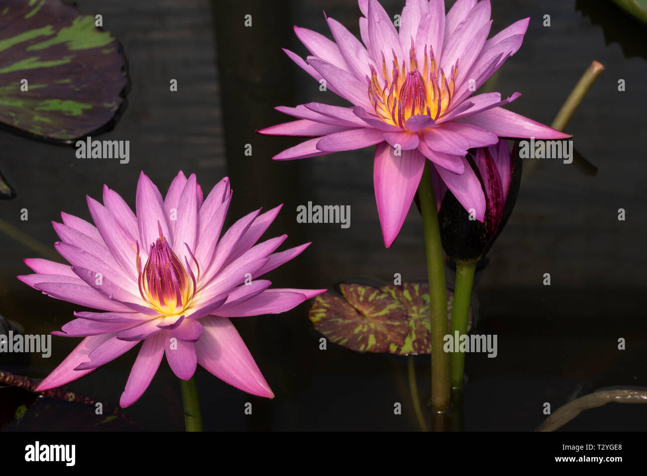 Pink water lilies Stock Photo