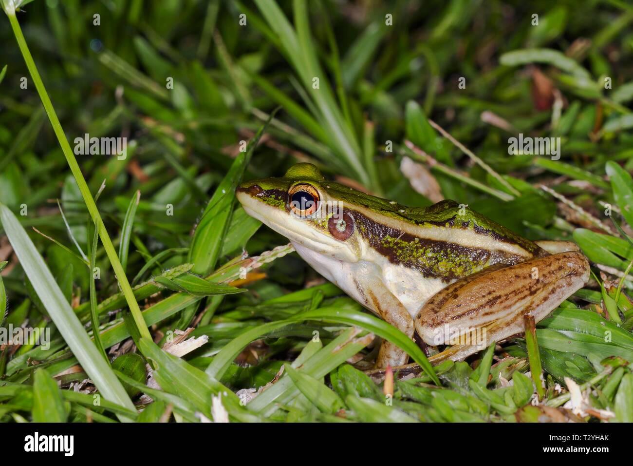 Common green frog (Hylarana erythraea), Sepilok Nature Reserve, Sabah, Borneo, Malaysia - Stock Image