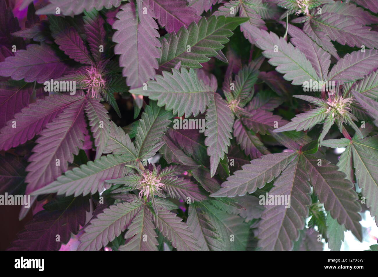Marijuana plants (cannabis sativa indica hybrids) display bud growth