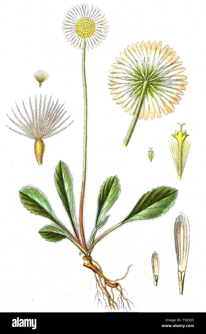 Digital improved reproduction of an illustration of, Bellidiastrum michelii, Alpenmaßliebchen, from an original print of the 19th century - Stock Image