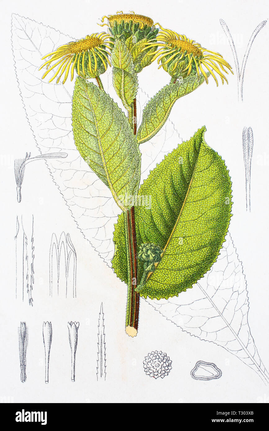 Digital improved reproduction of an illustration of, Inula helenium, Alant, Elecampane, from an original print of the 19th century Stock Photo
