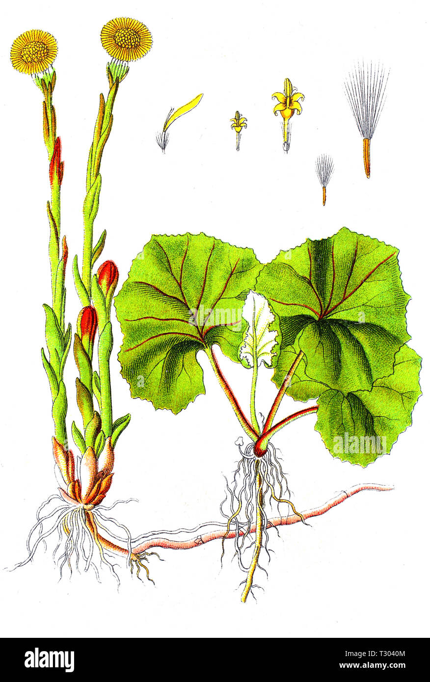 Digital improved reproduction of an illustration of, Huflattich, Tussilago farfara, coltsfoot, from an original print of the 19th century - Stock Image