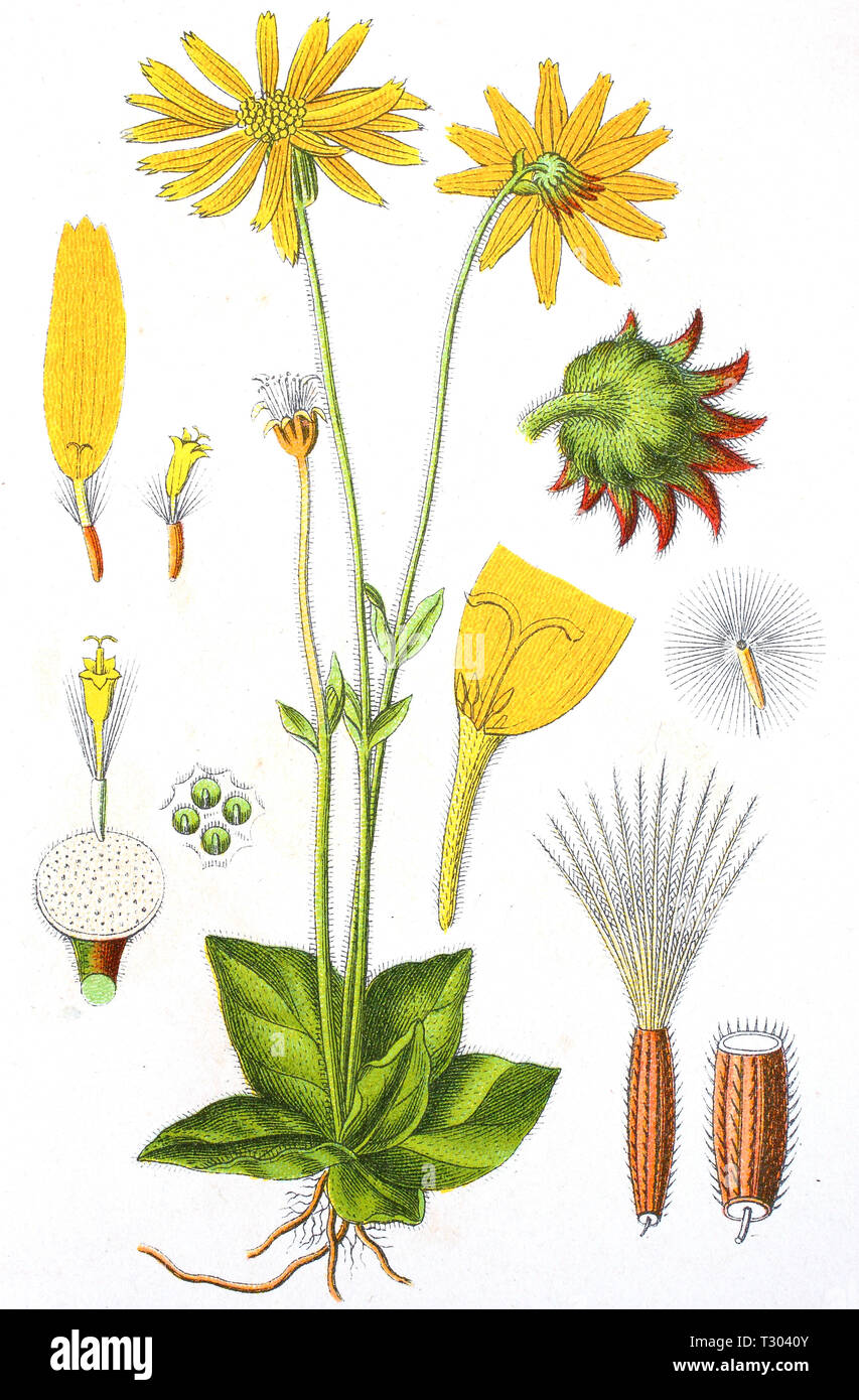 Digital improved reproduction of an illustration of, Arnika, Arnica montana, wolf's bane, leopard's bane, mountain tobacco, mountain arnica, from an original print of the 19th century - Stock Image
