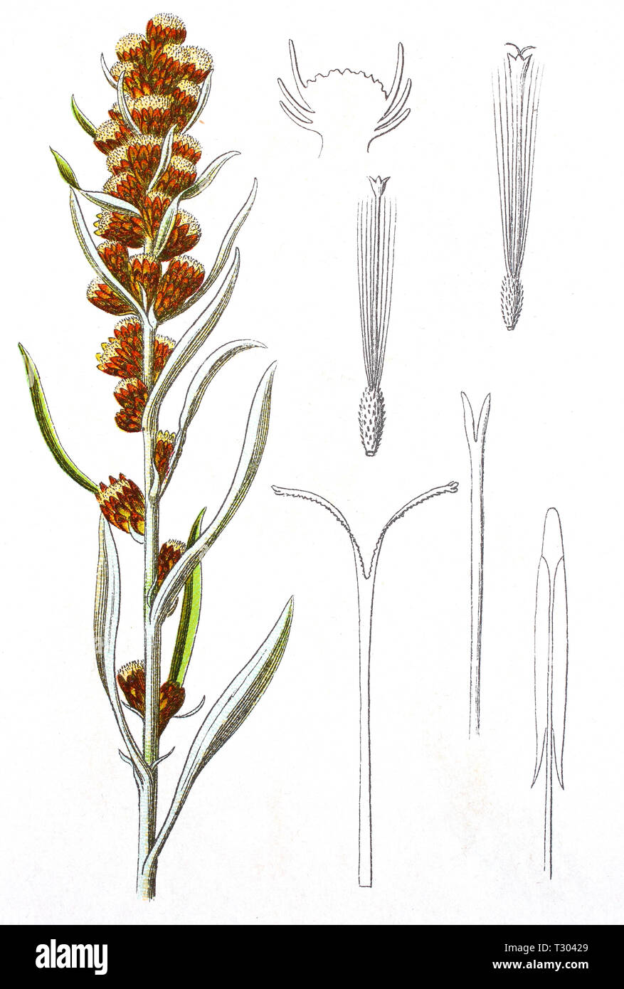 Digital improved reproduction of an illustration of, Wald-Ruhrkraut, Gnaphalium sylvaticum, heath cudweed, wood cudweed, from an original print of the 19th century - Stock Image