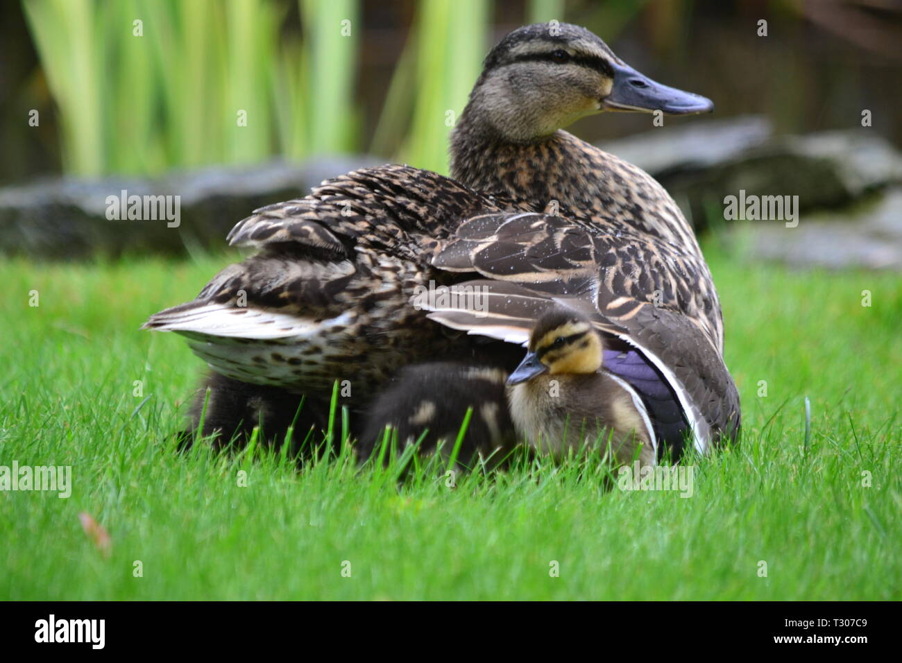 Baby Ducklings Sheltering From The Rain - Filey Yorkshire UK - Stock Image