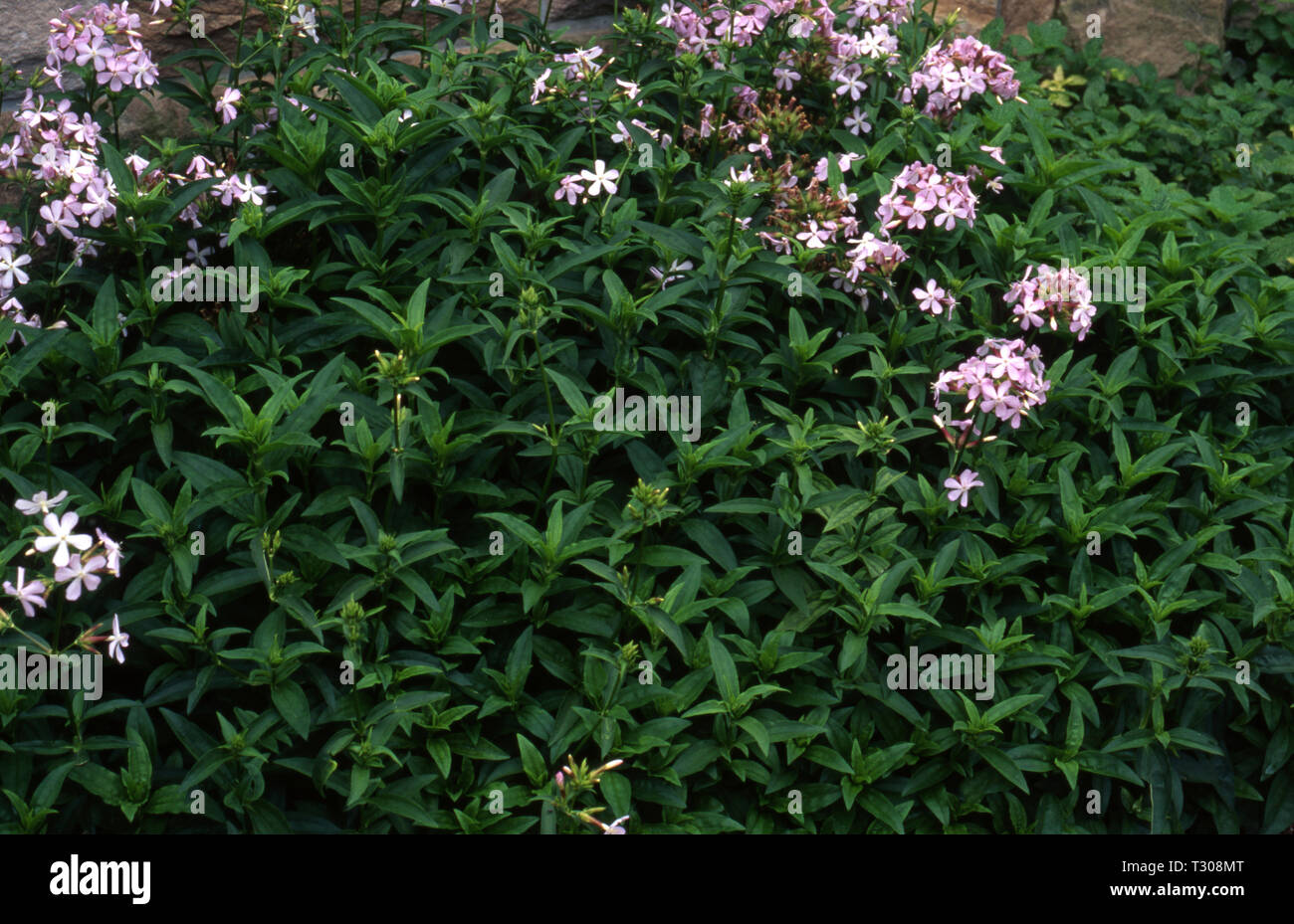SOAPWORT, BOUNCING BET (SAPONARIA OFFICINALIS) IS A COMMON PERENNIAL PLANT FROM THE CARNATION FAMILY. (Caryophyllaceae). - Stock Image