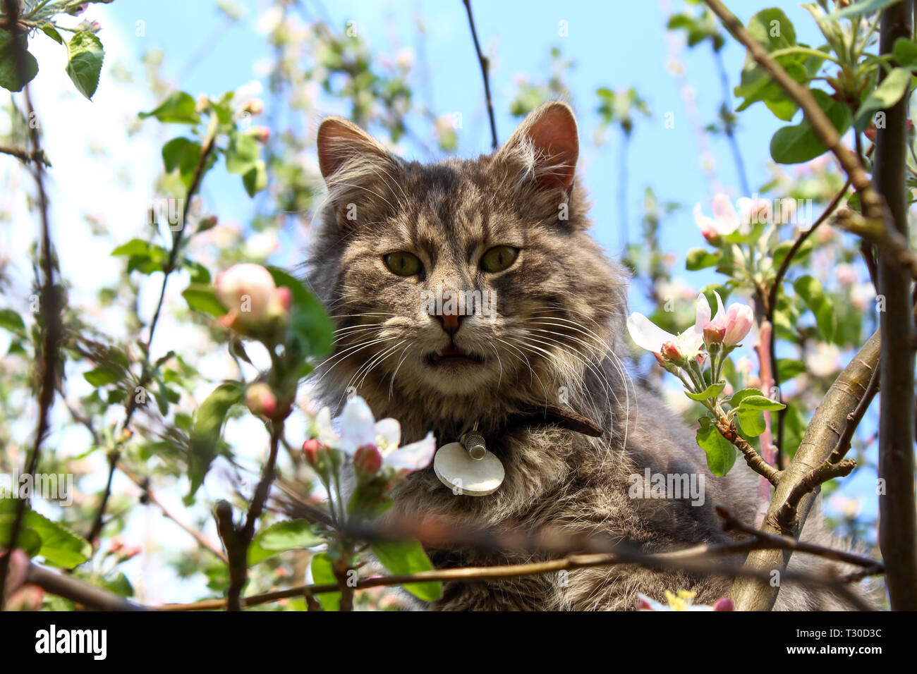 Longhaired cat front in blooming apple tree Stock Photo