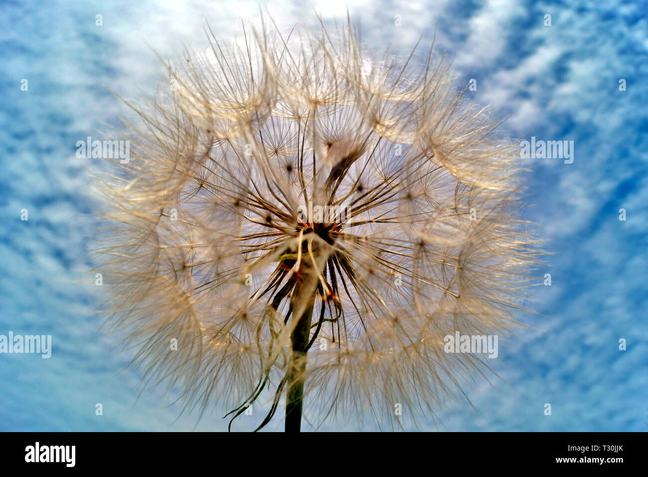 close up of flower Tragopogon pratensis, Asteraceae Stock Photo