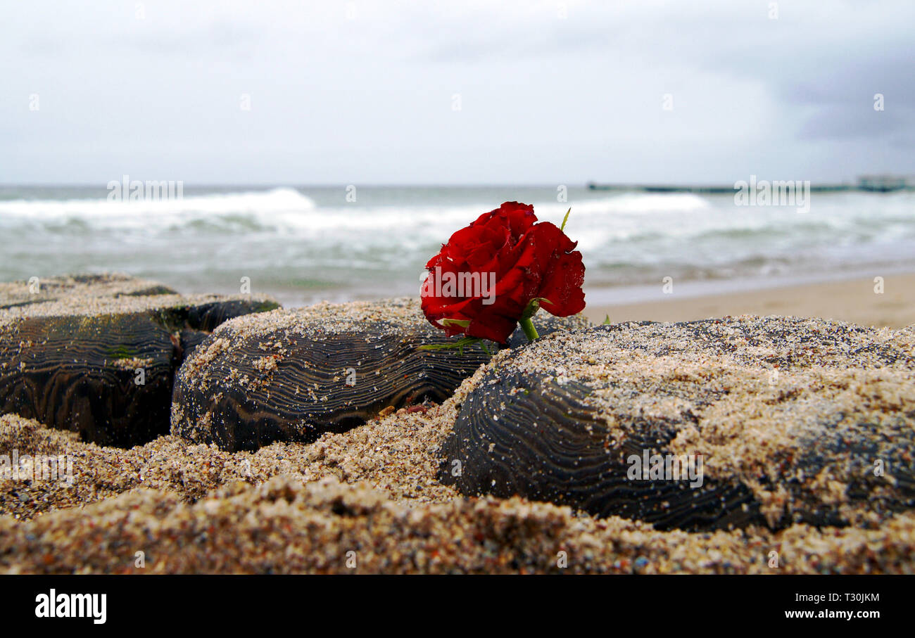 Funeral flower, lonely red rose flower at the beach, water background - Stock Image
