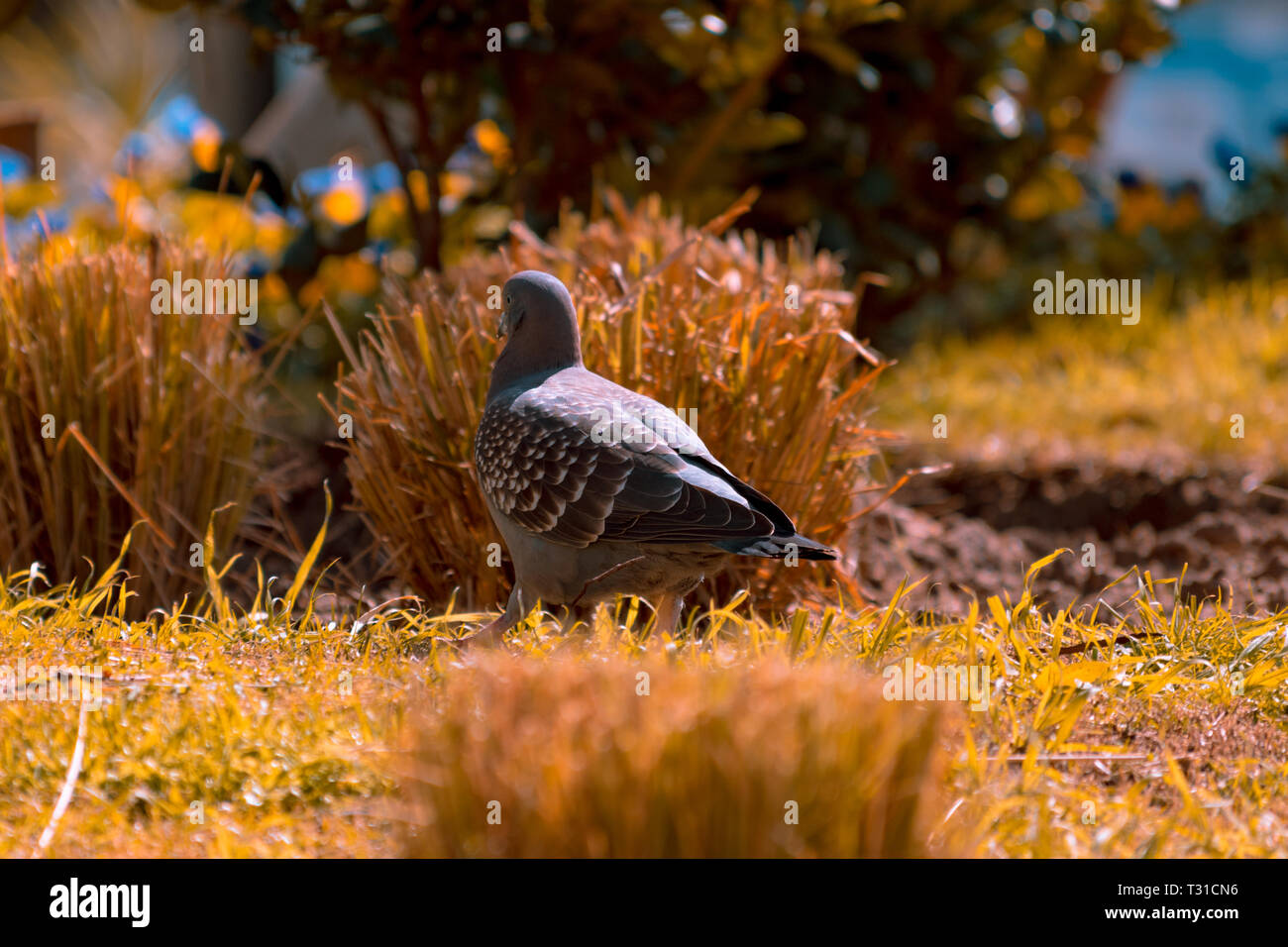 Dove walking with complete freedom in a park. Photograph taken in Punta del Este, Uruguay. - Stock Image