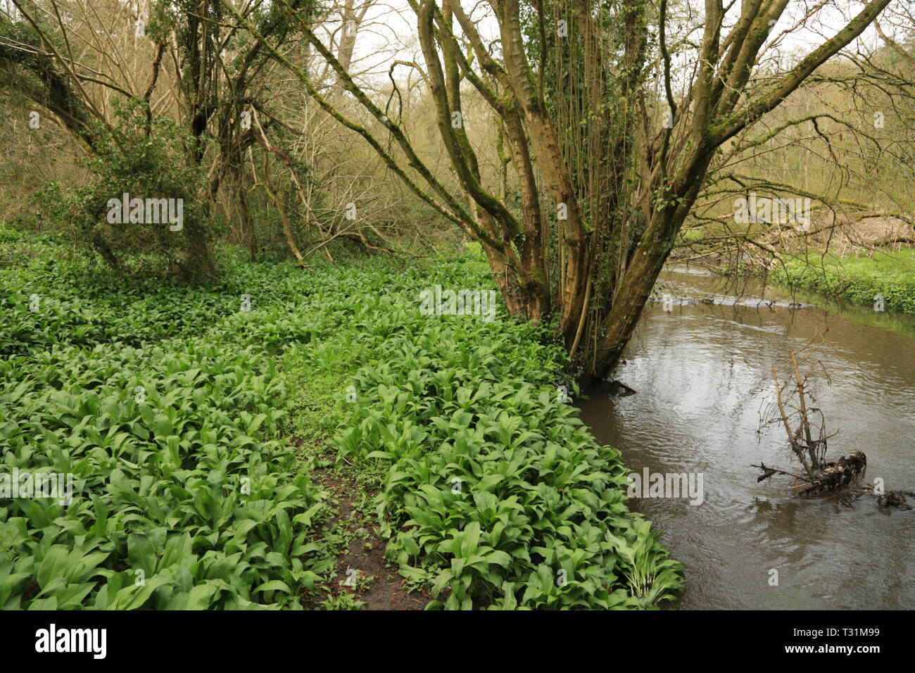Wild Garlic (Allium ursinum) growing next to a stream in the UK. Stock Photo