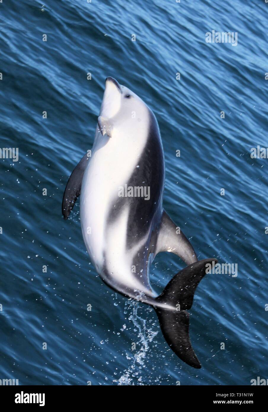 Dolphins having fun in the ocean during whale watching trip - New Zealand, Kaikōura - Stock Image