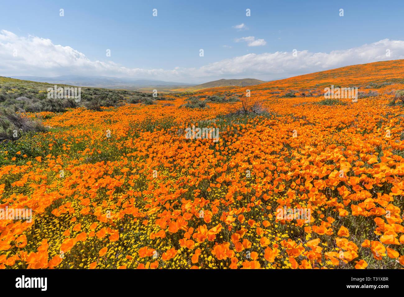California poppy super bloom wildflower hillside near Lancaster in northern Los Angeles County. - Stock Image