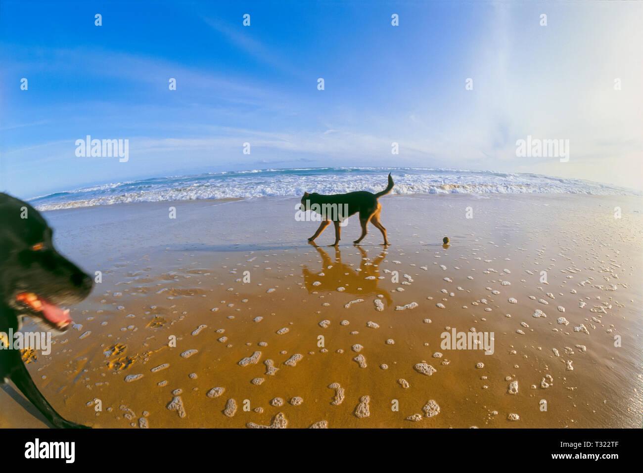 Dogs playing on beach, fisheye distortion - Stock Image
